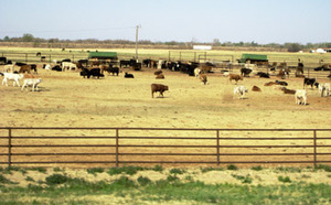 Cattle_feedlot_2