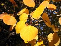 Aspen_leaves