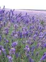 Lavendermp
